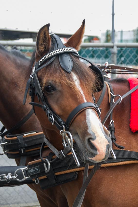 paardenparade-4